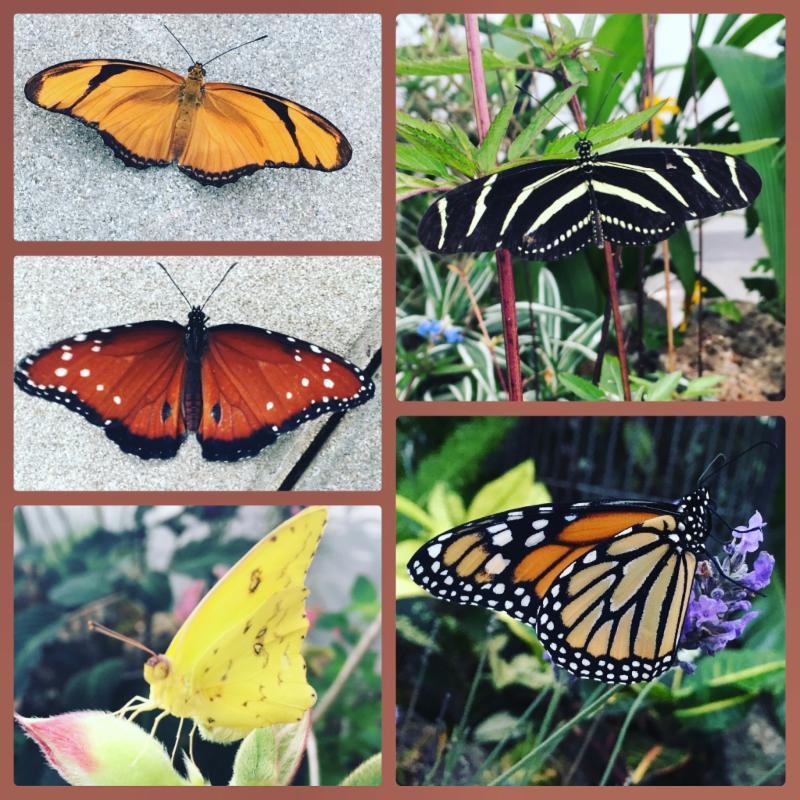 Butterflies _clockwise__ Julia_ Zebra Longwing_ Monarch_ Cloudless Sulphur_ Queen. Photo Credit_ May Slen