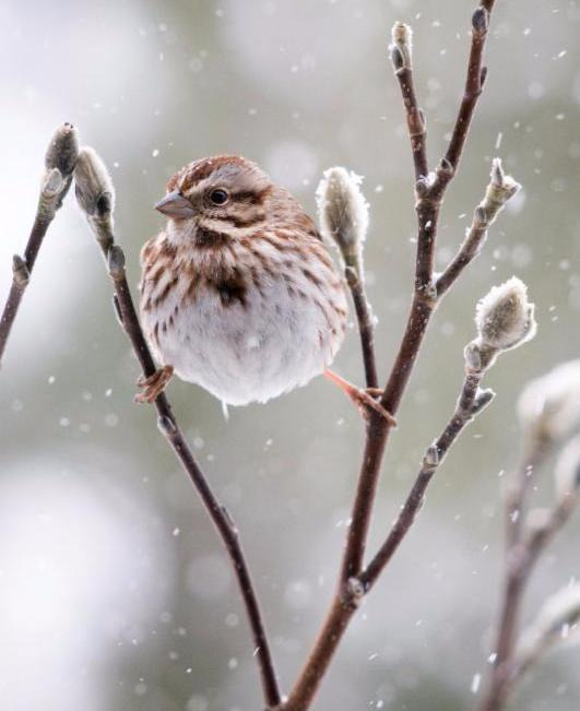 Song Sparrow by Michele Black
