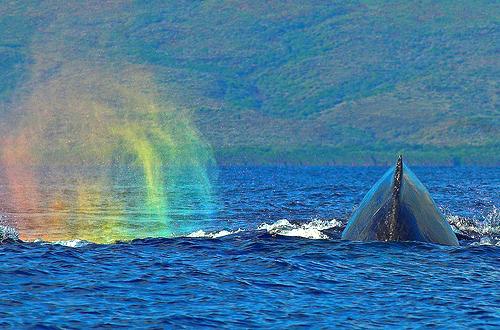 Maui Humpback Whale & Rainbow