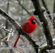 Cardinal in Winter at Fairview Farm