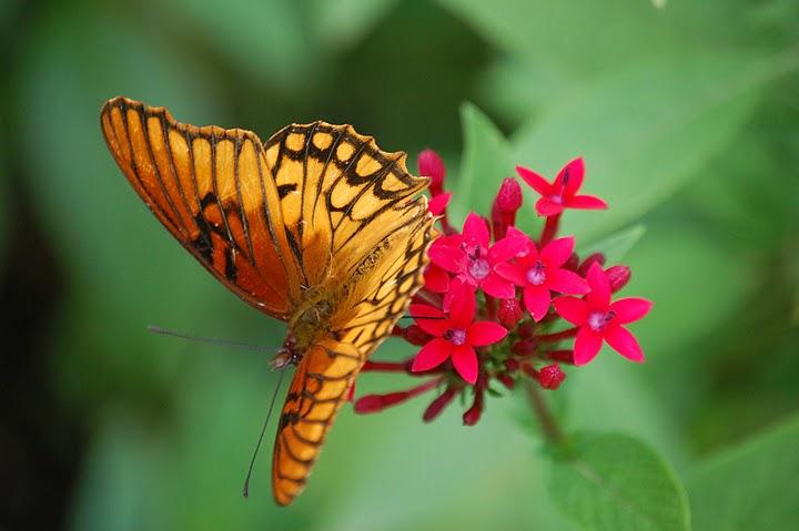 butterfly nourishing