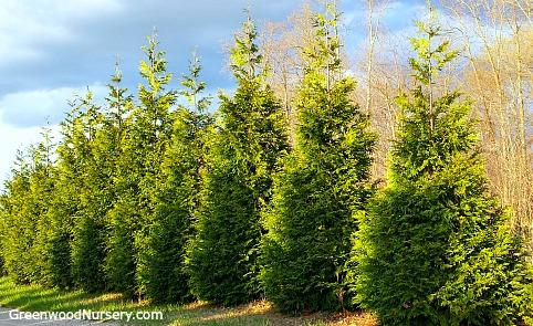 5 Best Privacy Evergreen Trees