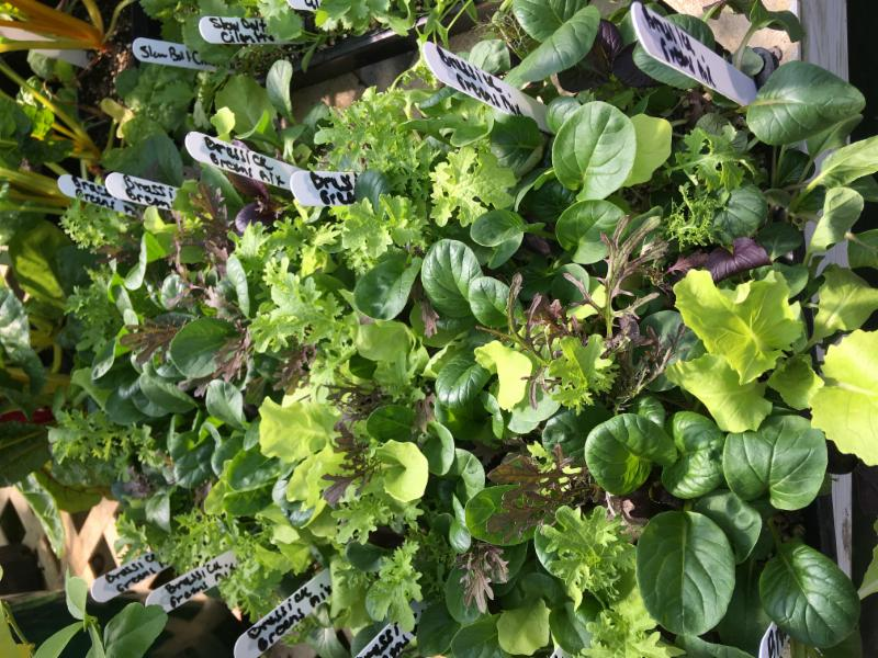 GrowHaus Lettuces