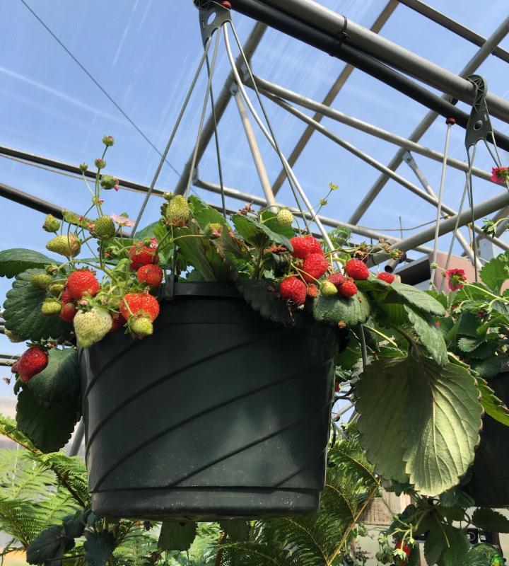 strawberry hanging