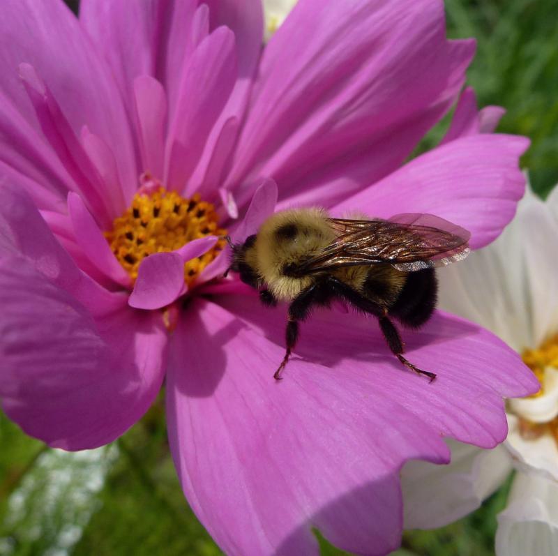 Cosmos Wildflower