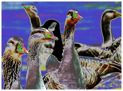 Canada-geese_solar