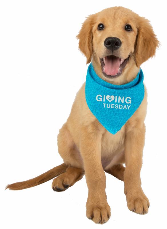 Golden retriever puppy in blue bandana