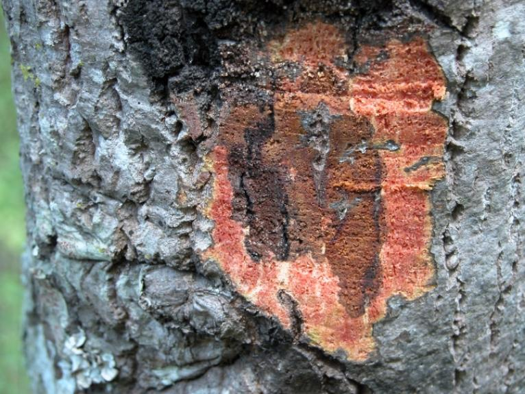 Phytophthora on an oak