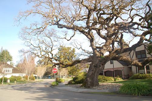 Venerable Palo Alto Oak