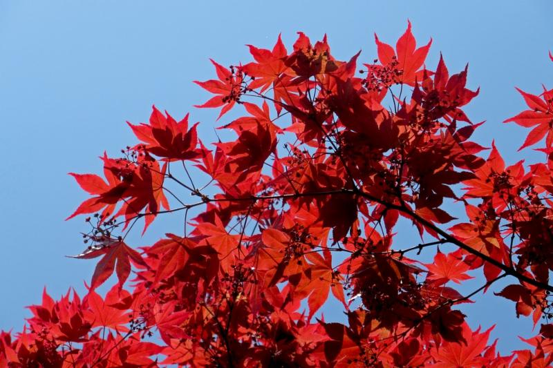 Japanese maple - one of many trees on the new midtown route_