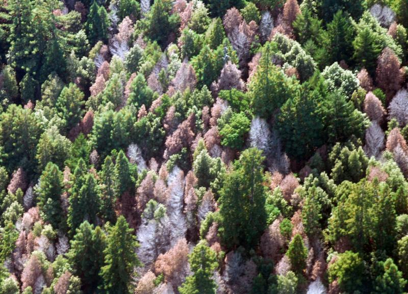 Tree mortality plagues forests in CA
