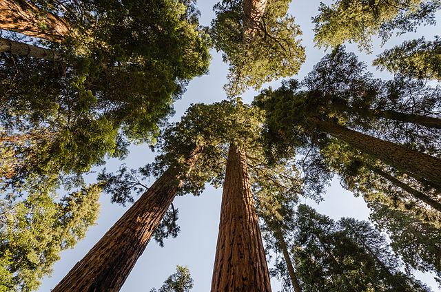 The iconic giant sequoia