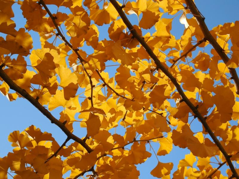 Ginkgos go gold for autumn