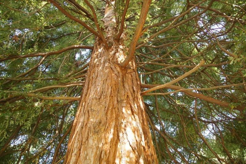 Redwood trees - an answer to climate change_