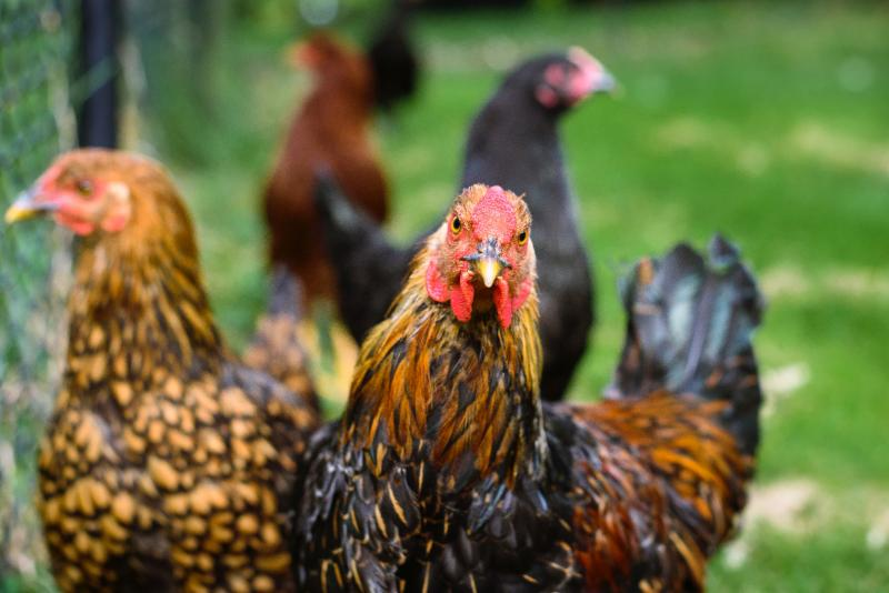 Chickens by Jordan Whitt via Unsplash