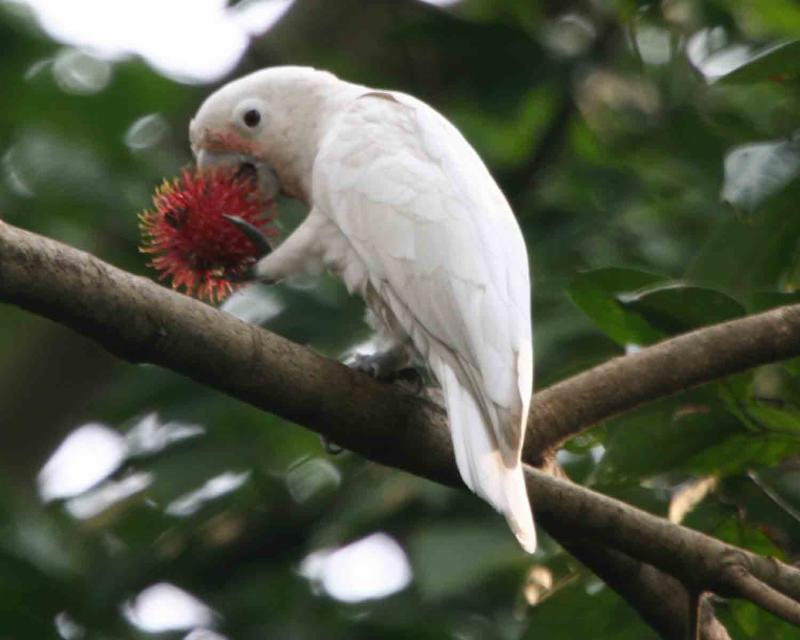 Goffin_s Cockatoo eating a rambutan fruit _photo credit Lip Kee Yap_ Wikimedia Commons_