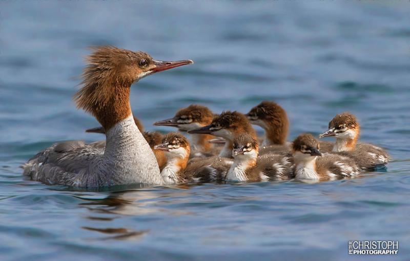 Merganser with chicks on the Quabbin Reservoir - Peter Christoph Photography