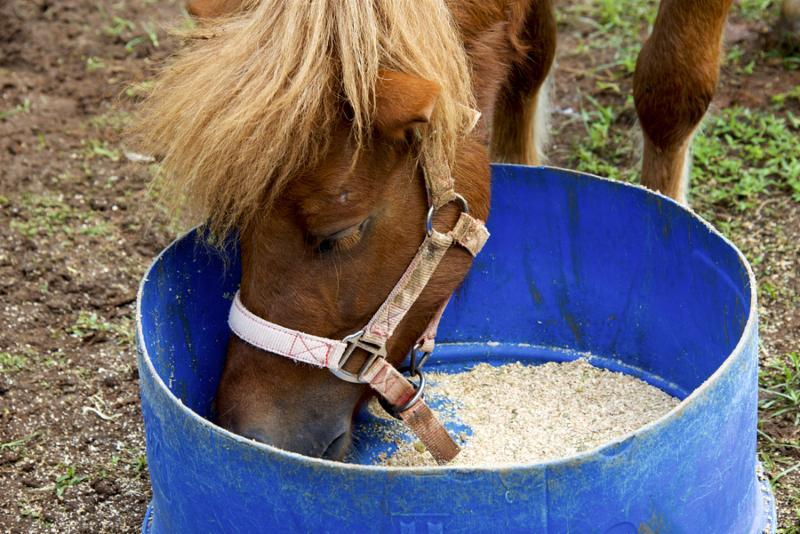 Close up of horse eating from bucket     Note  Soft Focus at 100 , best at smaller sizes