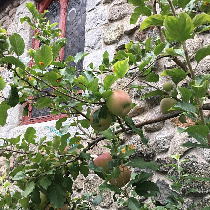 apples in memorial garden