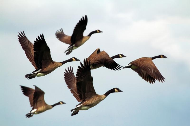 Flying flock of Canadian geese