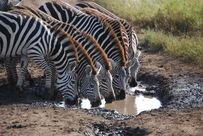 zebras 2012