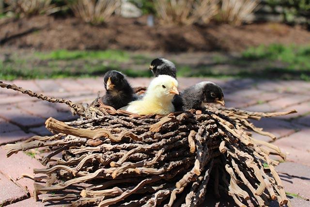 Baby chicks in nest
