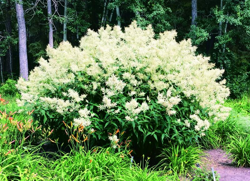 2018 ordering guide is out get what you really wanted from tt seeds 7055 giant fleece flower will form a very large bushy clump of bold green leaves topped with huge creamy white astilbe like flowers blooming for about 3 mightylinksfo
