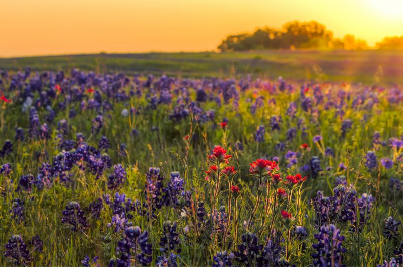 bluebonnets_sunset.jpg