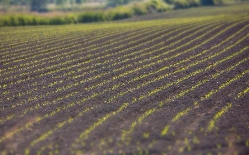 early corn seedlings