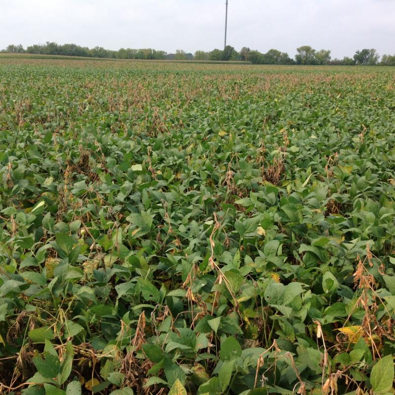 soybeans with white mold