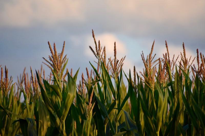 late July tasseled corn