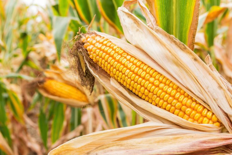 ear of corn near harvest