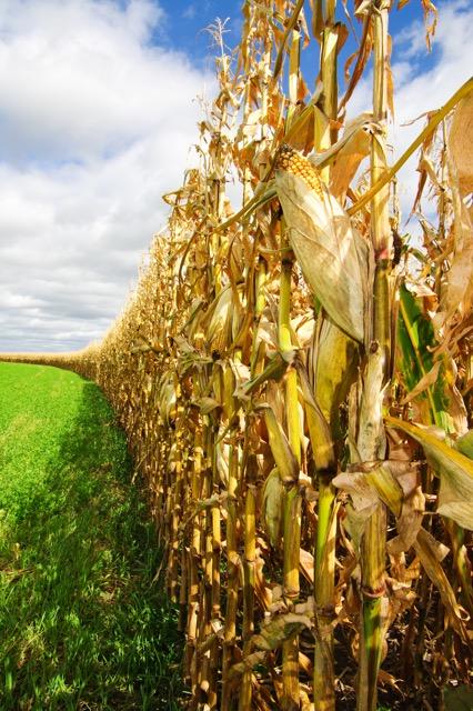 corn before harvest