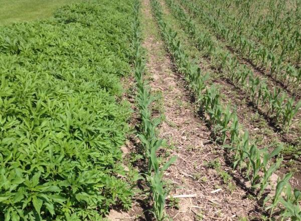 Giant ragweed encroaching on corn field