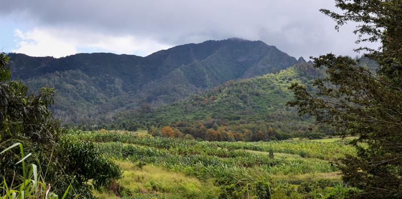 view of cane fields at Manulele Distillers