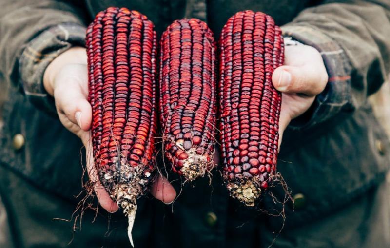 For nearly a century_ Jimmy Red corn was used by bootleggers to make moonshine whiskey.
