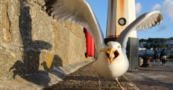 Gull with human food in its beak in England.