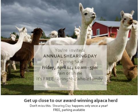 April 14, 2017 is Shearing Day at Kensington Prairie Farm