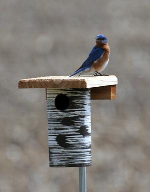 PVC Bluebird Box