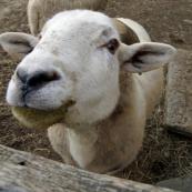 Wool Days