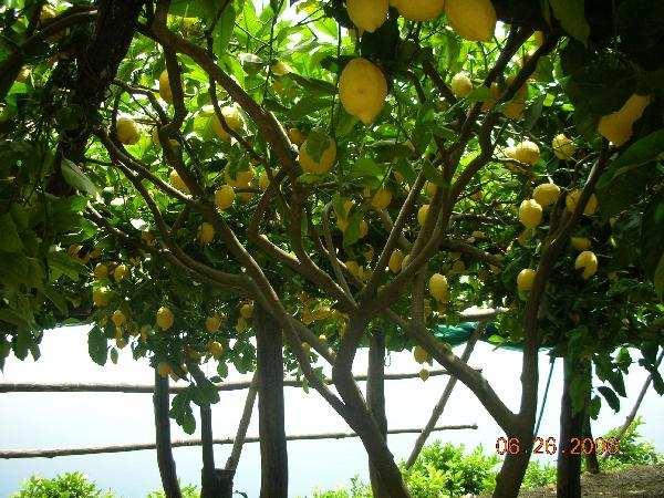 Ravello Lemons