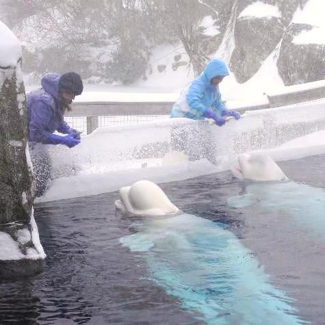 Belugas winter feed