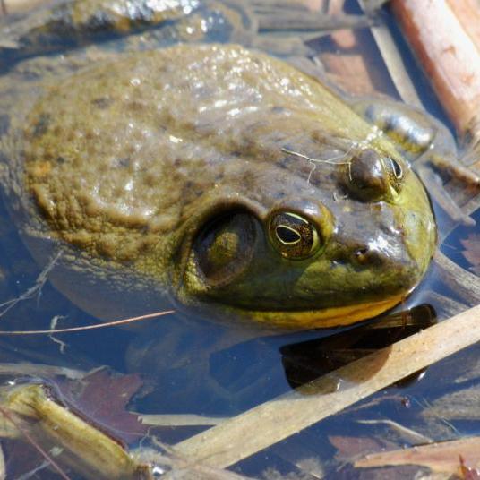 Amphibian Monitoring