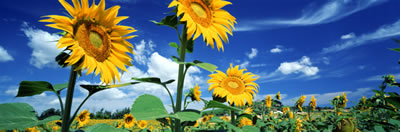 sunflower-sm2.jpg
