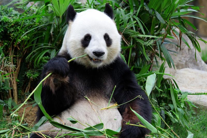 panda_happy_wild.jpg