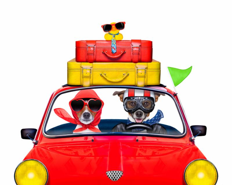 couple of jack russell just married dogs driving a car for summer vacation holidays or honeymoon isolated on white background stack of luggage or bags on top