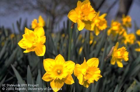 'King Alfred' trumpet daffodil by Jack Kelly Clark