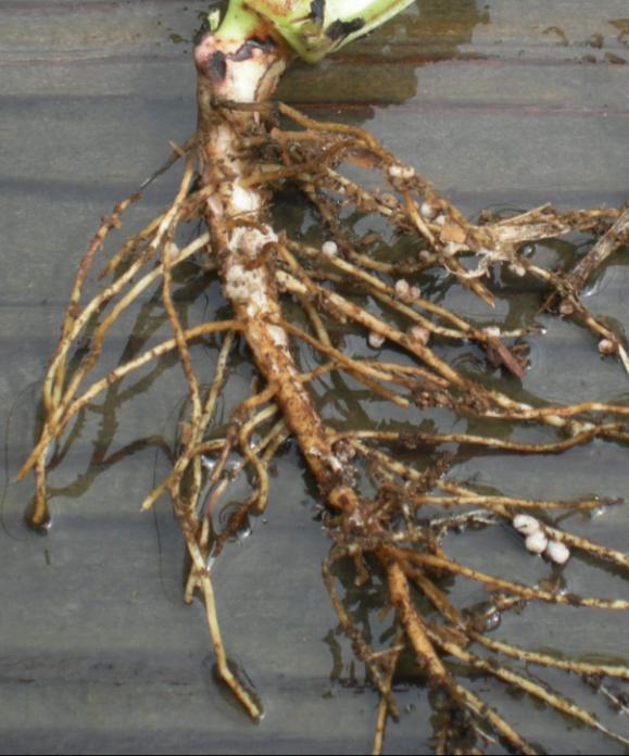 Fava bean roots by Laura Monczynski