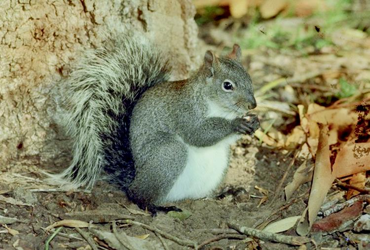 western Gray Squirrel from Pest of the Urban Landscape Blog