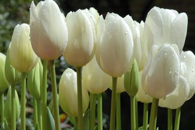 white-dew-tulips.jpg
